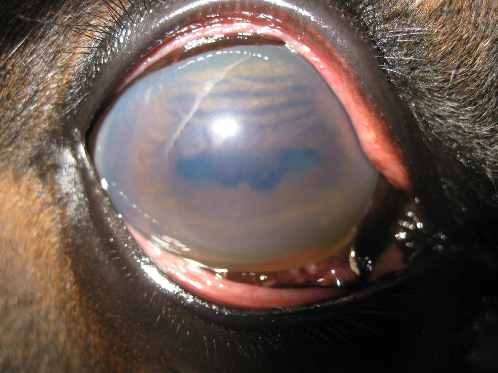 Your Horse Has Uveitis Here S What You Need To Know Us