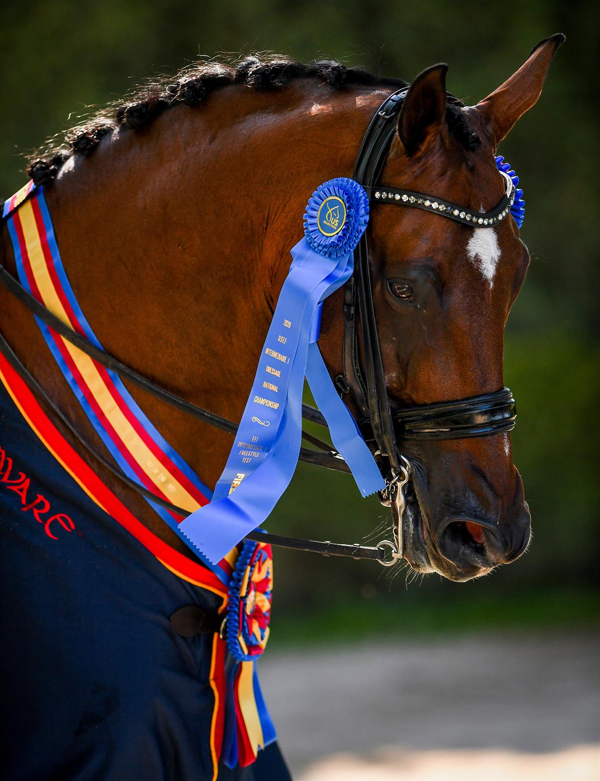 Headshot of Sonnenberg's Everdance, a bay horse, with champion ribbons on his bridle and around his neck